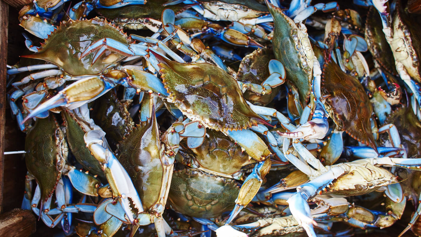 Catching blue crab in new orleans fish tales for New orleans fish